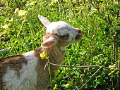 A beautiful vibrant horizontal photo of an goat eating grass