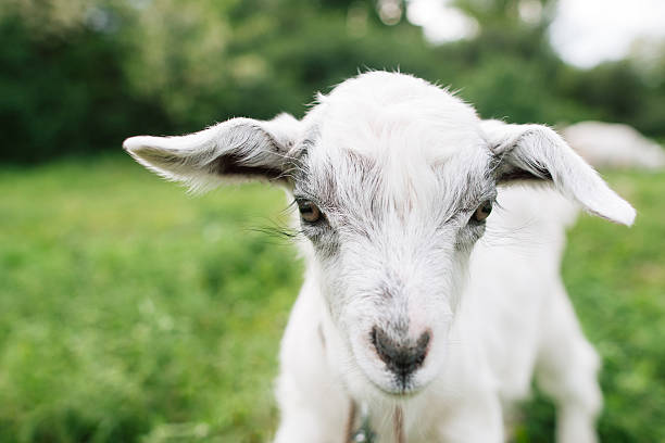 Little goat face on green meadow closeup stock photo