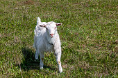little goat grazing on the lawn in the village, country field