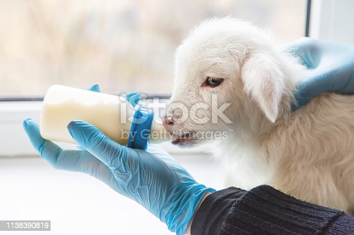 little goat in the hands of a veterinarian to feed. In tutorial focus. nature.