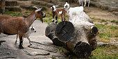 junge Ziegen auf dem Hof