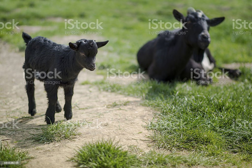 little goat stock photo