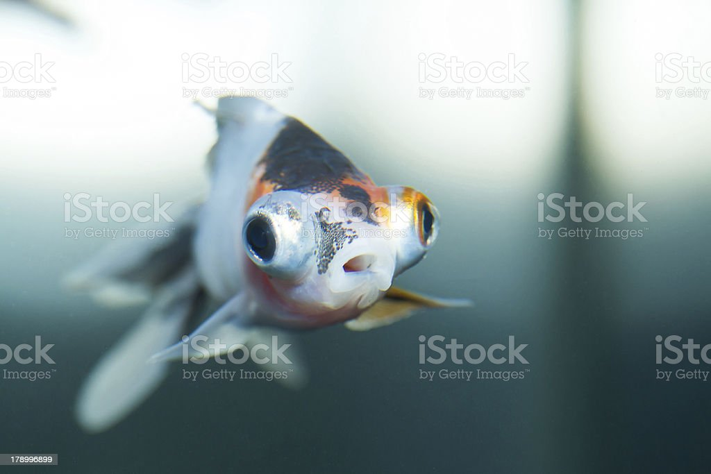Little gold fish royalty-free stock photo