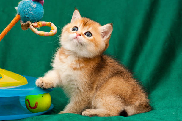 Little Golden British playful cat sitting next to a cat toy stock photo