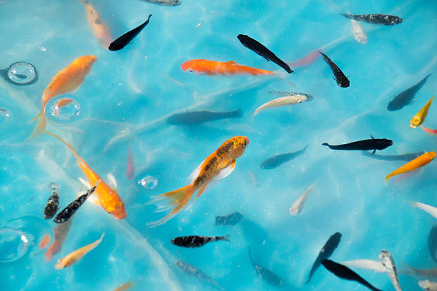 Little goldfish & Koi in Ponds for goldfish scooping game stock photo