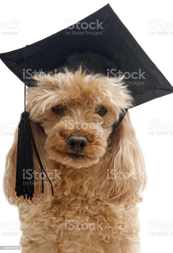 Little Graduate royalty-free stock photo