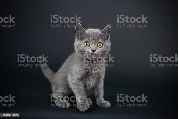 Little gray cat picture id165820324?b=1&k=6&m=165820324&s=612x612&h=9bovbvzw6xckzleywu6saq0jjfu1bajm yk0nh lum8=