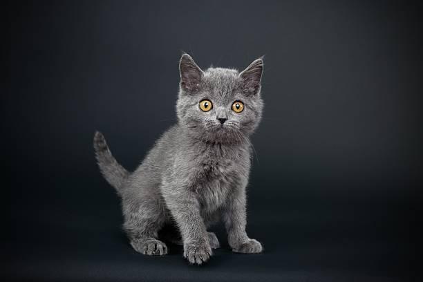 Little gray cat picture id165820324?b=1&k=6&m=165820324&s=612x612&w=0&h=0cjc6l32va8zq0lpwdeakaeelgxj hz uen5nanmqqy=
