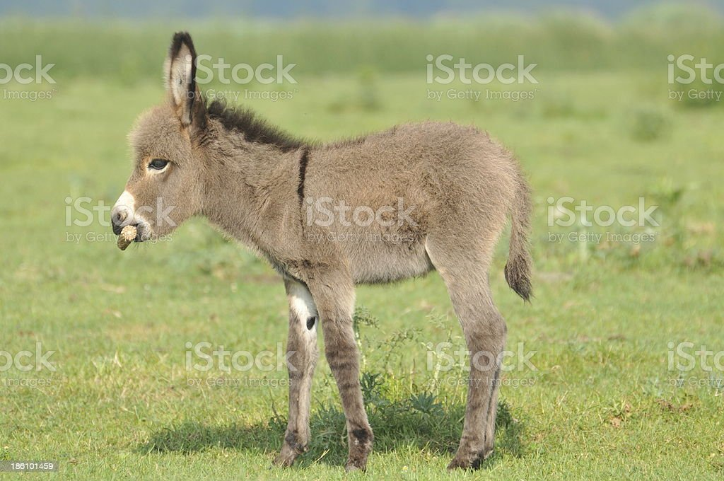 little gray donkey in a green pasture stock photo