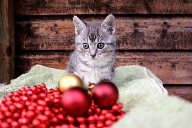 kleines graues Kätzchen Baby sitzt hinter roten und goldenen Weihnachtskugeln – Foto