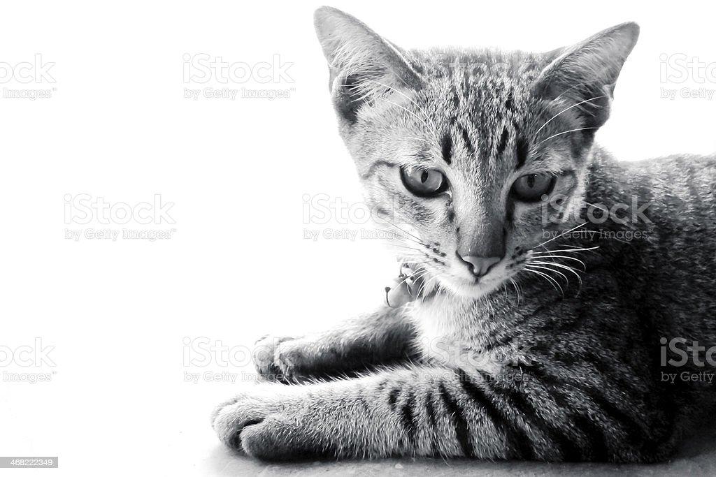 Little gray kitten isolated on white background. stock photo