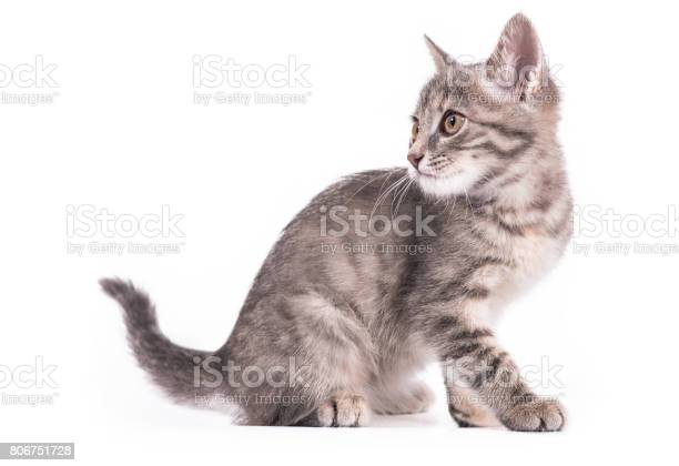 Little gray kitten isolated on white background picture id806751728?b=1&k=6&m=806751728&s=612x612&h=0hy64h4q4glaswdtmyki5geqdr1ga2ni xl5nllk7ty=