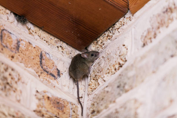 Little gray mouse sits top corner little gray mouse with a long tail sits at the top corner of the brickwork. rodent stock pictures, royalty-free photos & images