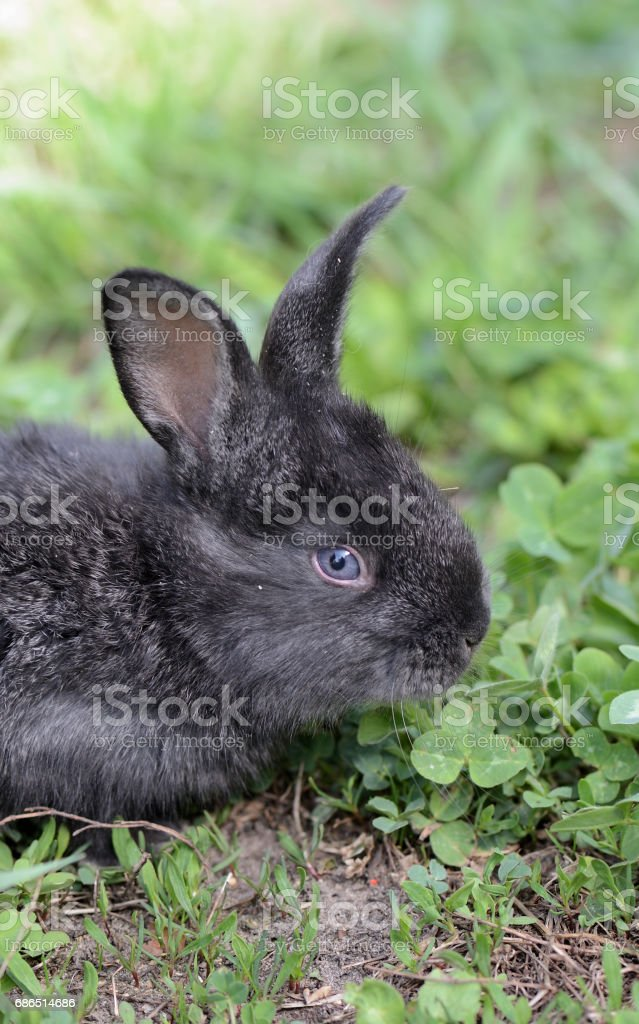 Little gray rabbit on a meadow with clover close up zbiór zdjęć royalty-free