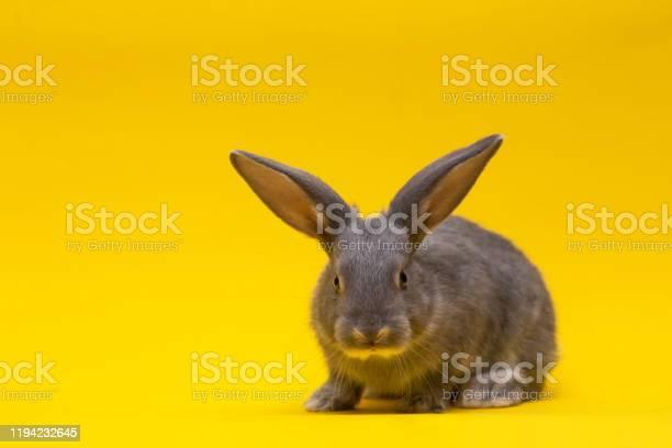 Little gray rabbit picture id1194232645?b=1&k=6&m=1194232645&s=612x612&h=6af3fyc  garoihyamkqjb8x4quczn sqnejs66 blw=