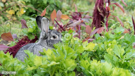 a adorable, cute, gray rabbit hides in the vegetable patch
