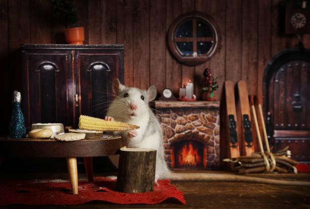 Pequeña rata gris está comiendo maíz en su acogedora casa - foto de stock