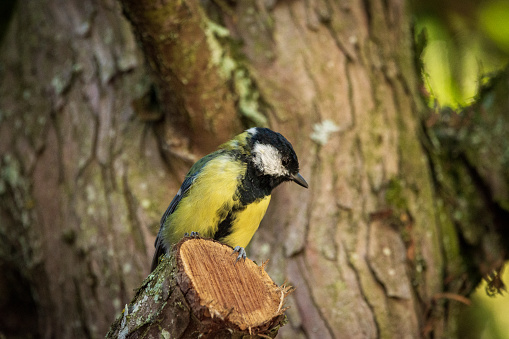 Little great tit sits on a branch
