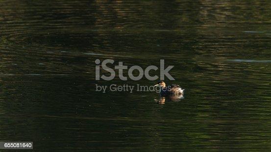 Little Grebe duck swimming,tachybaptus ruficollis.