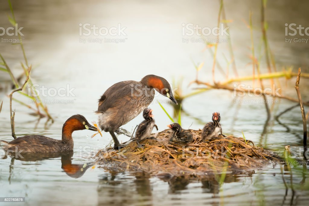 Little Grebe family feeding at floating nest on the lake stock photo