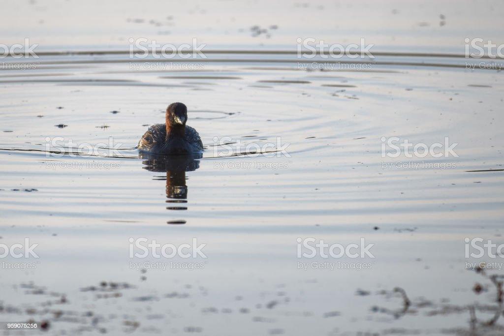 Little grebe swimming on a lake stock photo