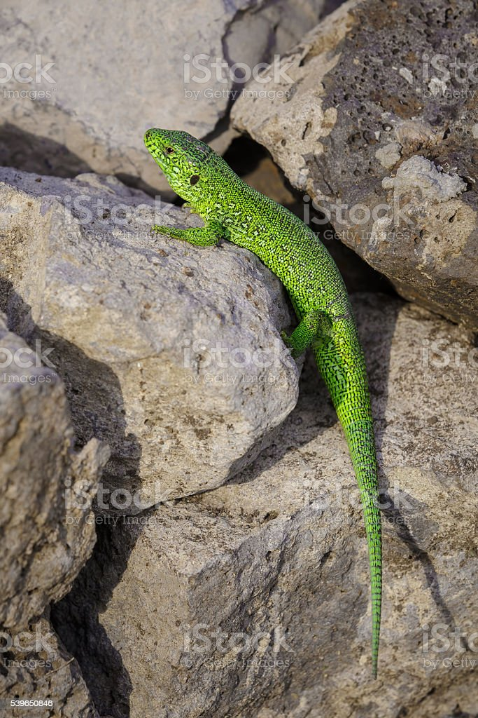 Little green lizard is basking on the stone stock photo