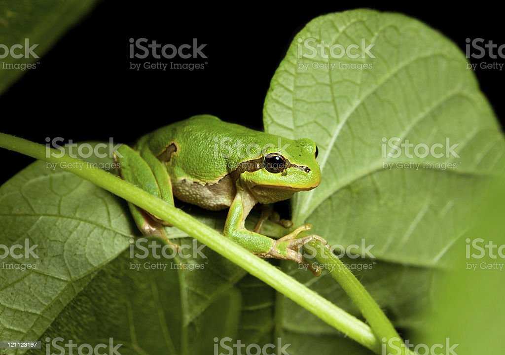 Little green tree frog climbing on leaf stock photo