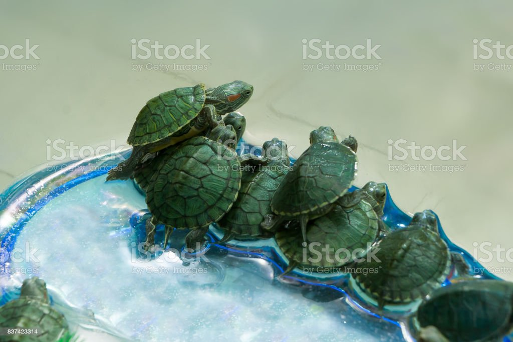 little green turtles in a vessel stock photo