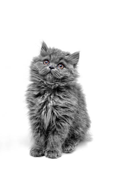 Little grey cat long hair picture id1089119208?b=1&k=6&m=1089119208&s=612x612&w=0&h=enwb70blmv74mdue2sjskzbajwc mbvwk12igzwpyek=