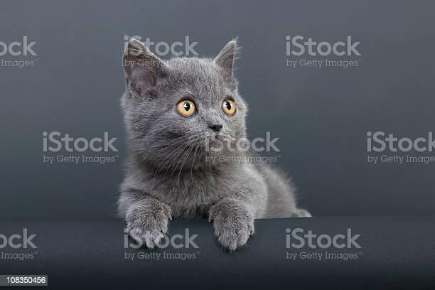 Little grey cat picture id108350456?b=1&k=6&m=108350456&s=612x612&h=httfssmm3ycgxphi2rmff7kpmuhd2jwx7wfcguhlkzi=