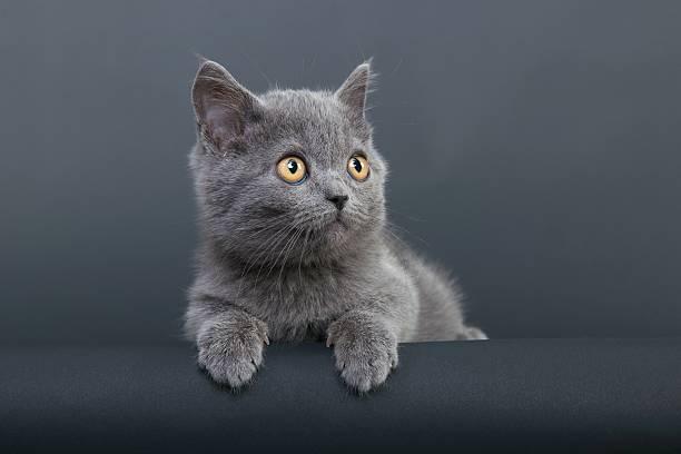 Little grey cat picture id108350456?b=1&k=6&m=108350456&s=612x612&w=0&h=4 ngkrwd1w4yqv0addburq8rlhqwmi0wdzeisthwwoq=