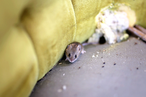 A little grey House Mouse is sitting by its nest in an old antique chair.
