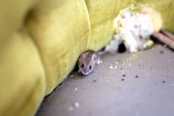 Little Grey House Mouse Living Inside Old Chiar A little grey House Mouse is sitting by its nest in an old antique chair. rodent stock pictures, royalty-free photos & images