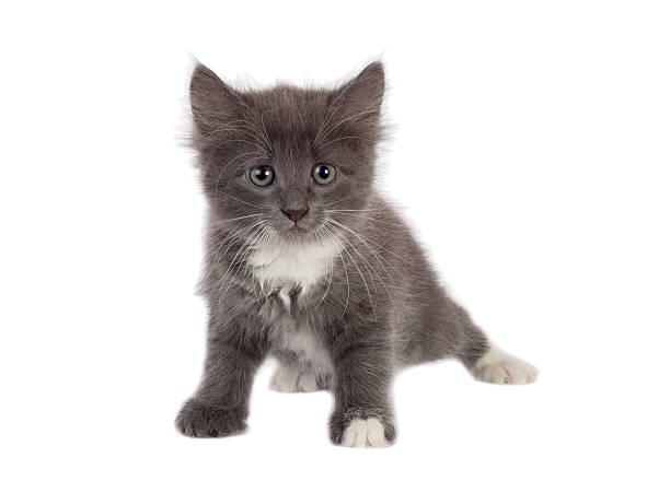 Little grey kitten looking to camera picture id584601122?b=1&k=6&m=584601122&s=612x612&w=0&h=gz3rrm4jzqlik8 ktwqfxktjaqsfnii5lzkihahtqra=
