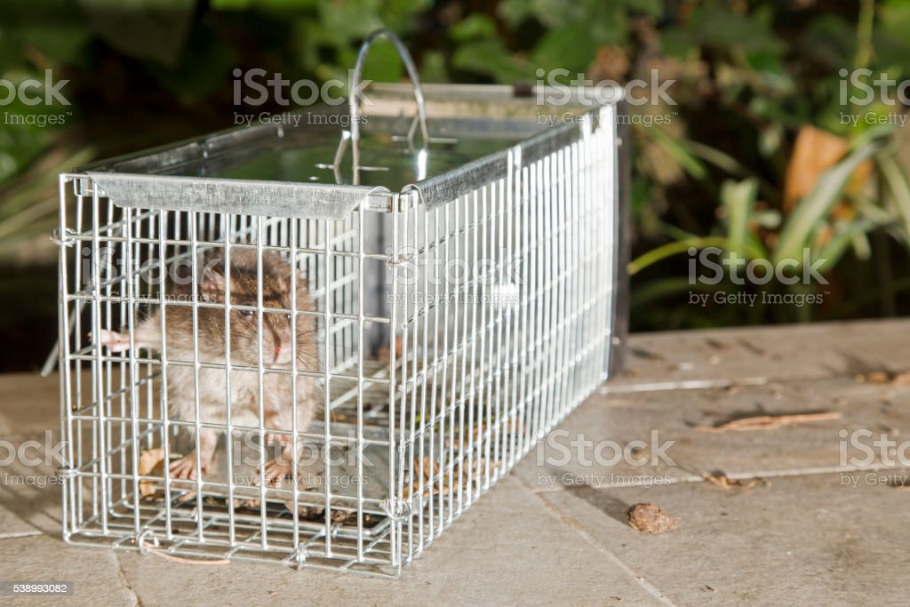 Little grey rat in a trap stock photo