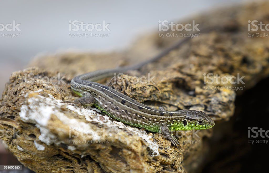Little grey-green lizard is basking on the stone stock photo