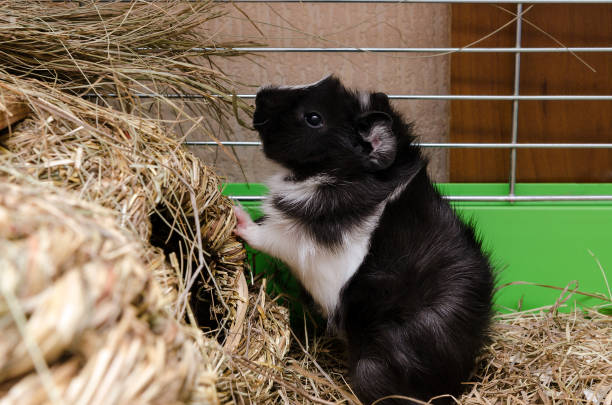 Little guinea pig eating salad leaf. stock photo