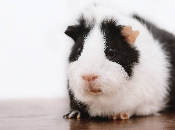 Little guinea pig sits on wooden desk. stock photo
