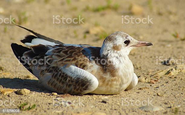 Little gull picture id513258203?b=1&k=6&m=513258203&s=612x612&h=aksfilkvdhwrczqrhoyte3yepmxvucjud88q goissa=