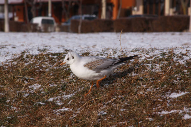 Little gull searching for food in cold winter stock photo