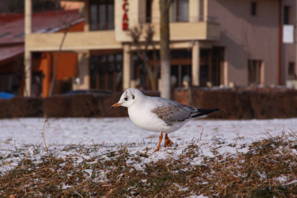 Little gull searching for food in winter with snow stock photo
