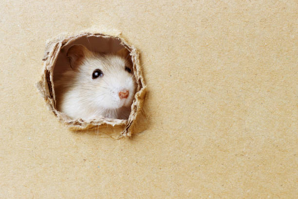 Little hamster looks through a round hole in cardboard box stock photo