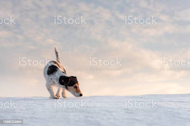 Little handsome jack russell terrier dog sniffs in front of cloudy picture id1098033994?b=1&k=6&m=1098033994&s=612x612&h=ugc7lpssc3wnlwe74kwb8hclwrgrm37mmqzccausewi=