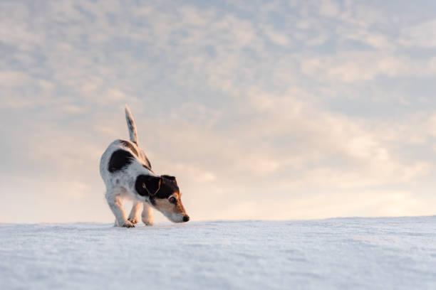hübscher Jack Russell Terrier Hund schnüffelt vor atmosphärischen bewölktem Himmel – Foto