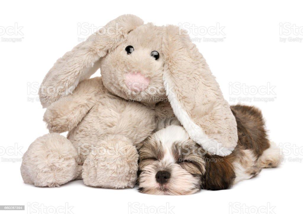 Little Havanese puppy dog sleeping with a rabbit plush toy stock photo