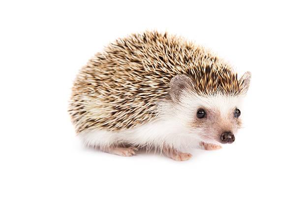 Little hedgehog picture id467151068?b=1&k=6&m=467151068&s=612x612&w=0&h=dbi xzonqlwqgflrs3 zs5gvog4n2z4txhxsq2ltuiy=
