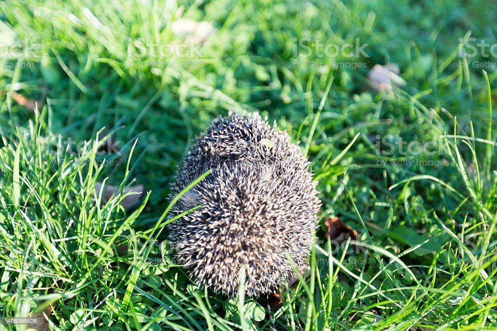 Little hedgehog royalty-free stock photo