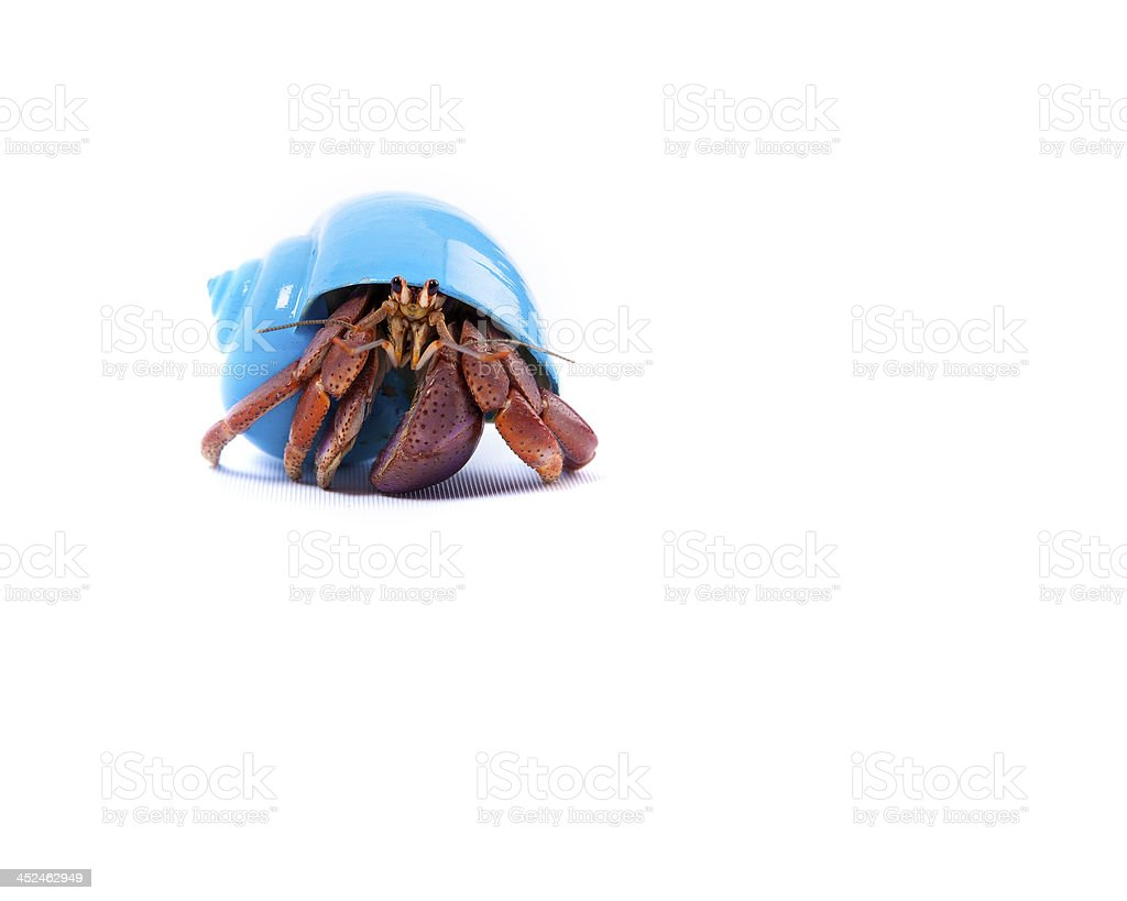 Little Hermit Crab in Blue Shell stock photo