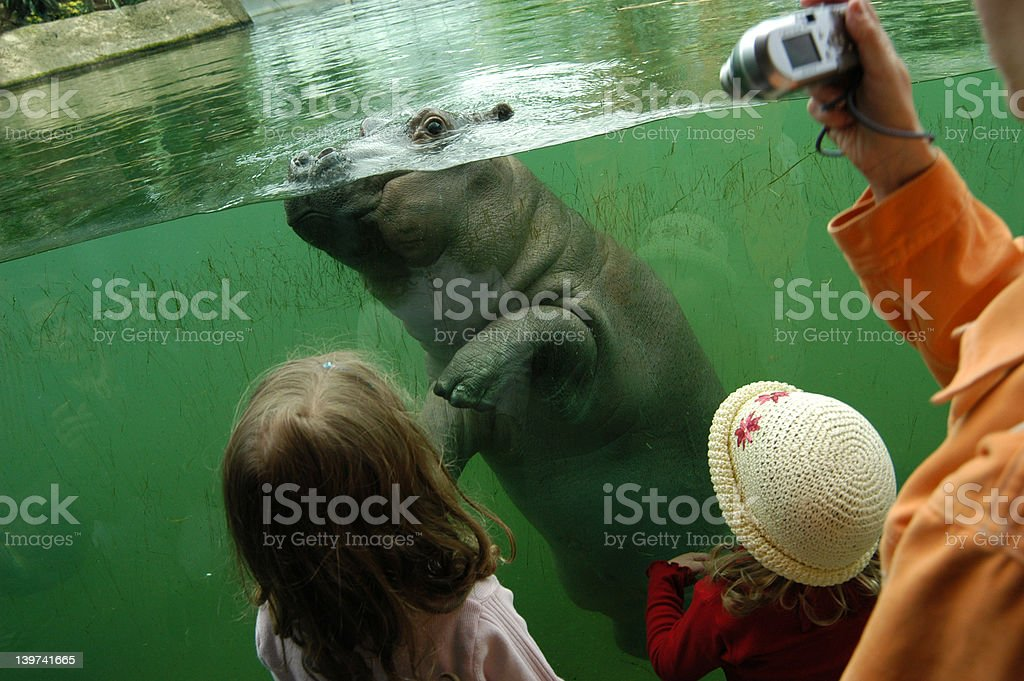Little Hippo royalty-free stock photo