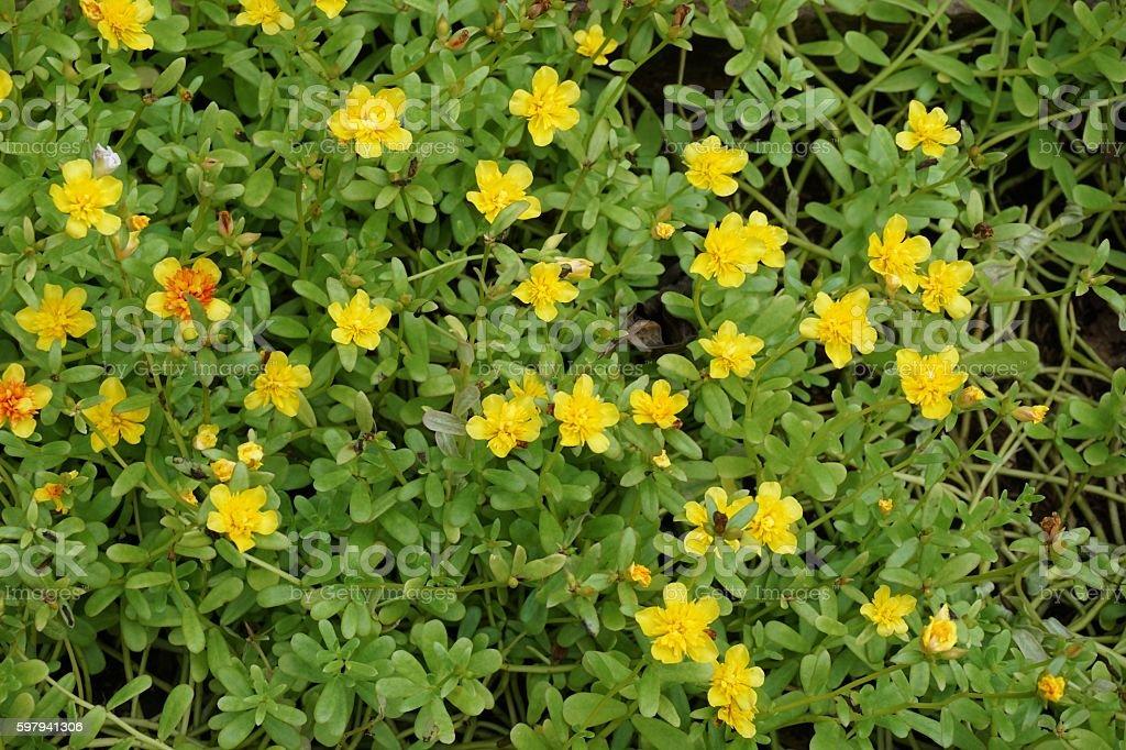 Little Hogweed flowers foto royalty-free